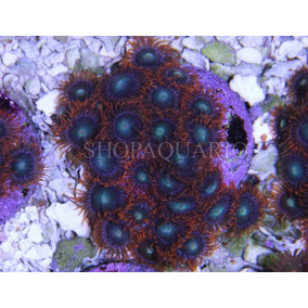Coral Zoanthus Raspberry Peça Com 3pp