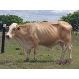 Vaca Lechera Simental F1 Preñada De Gyr Brasilero Con Cria