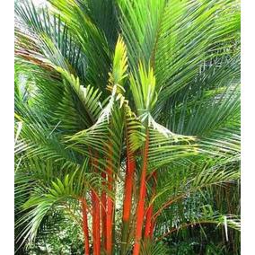 Palmeira Laca Vermelha - Jardinagem no Mercado Livre Brasil 63e860b0d7623