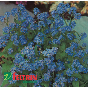 Sementes De Miosotis A. Azul - Feltrin + Frete Grátis