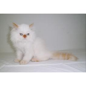 Gatito Gatito Himalaya Blanco (macho)