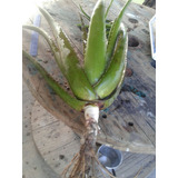 Aloe Vera Barbadensis (babosa) 5 Plantas Adulta 3 Kg Cada !
