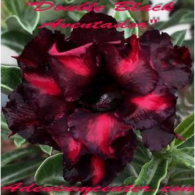 Sementes De Rosa Do Deserto Kit Mix Com 20 Sementes