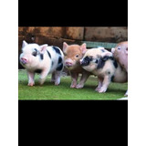 Mini Pig Chanchitos Cerditos