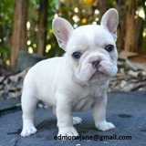 ¡cachorro De Bulldog Francés De Calidad Akc Para Adopción Gr