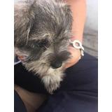 Cachorros Schnauzer Pequeños Sal Pimienta Mascota