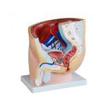 Modelo Anatômico Da Pelve Masculina