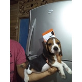 Beagle Cachorto Sl Dia