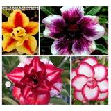10 Sementes Rosa Do Deserto Mix P/mudas Adenium