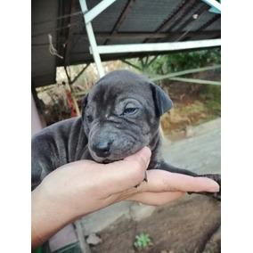 Cachorros Sarphei Con 20 Dias De Nacidos.