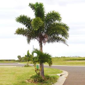 100 Sementes De Palmeira Rabo De Raposa
