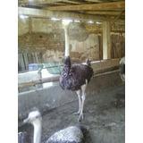 Venta De Avestruz Avestruceros