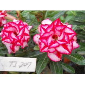 Rosa Do Deserto Ts-207 - Cor 100% Garantida Dobrada Tripla