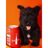 Cachorros De Terrier Escocés Para Su Adopción