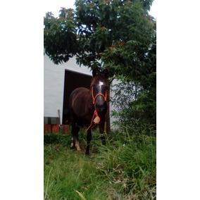 Cavalo Potro Manga Larga Mineiro