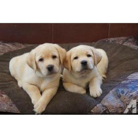Labrador Retriever Cachorros Para Adopción