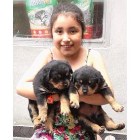 Rottweilers Cachorros Excelentes Top !!!