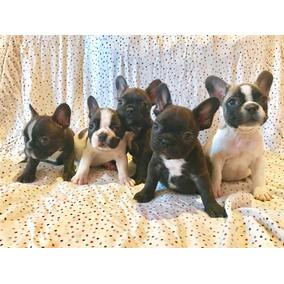 Excelentes Bulldog Frances Con Papeles + 1 Mes De Vet Gratis