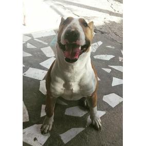 Bull Terrier Macho Disponible Para Salto