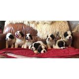 Gorgeous St Bernard Cachorros En Adopción