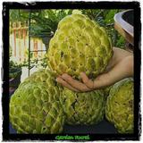 Sementes De Pinha Gigante Rara Ata Fruta Do Conde + Manual