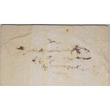 Fóssil De Peixe (knightia Eocaena) 50 Milhões Anos