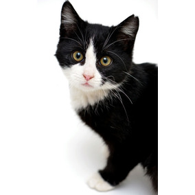 Gatos britanicos de pelo corto venta