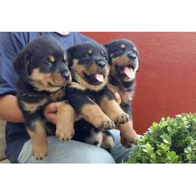 Filhotes De Rottweiler Machos E Femeas Enviamos