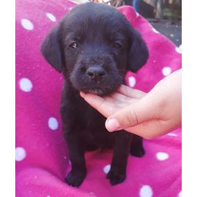 Labradores Negros