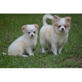 Chihuahua Pelo Longo Bicolor - Maravilhoso