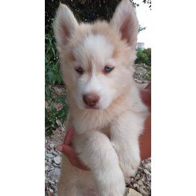 Cachorros Alaska Malamute ¿¿