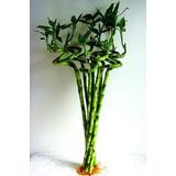 Bambu De La Suerte Chino En Espiral - Planta Fortuna, China