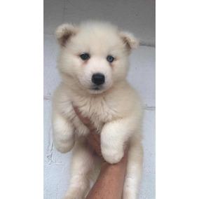 Filhote De Husky Siberiano - Fêmea Branca