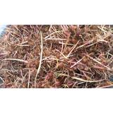 Sementes De Açai Brs Germinada 1,kg Pronta Plantiu +500