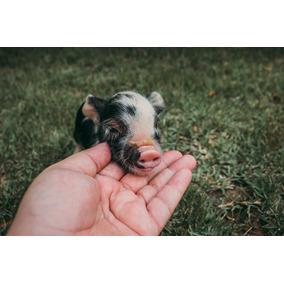 Mini Pig: Porquinho De Estimação Filhote