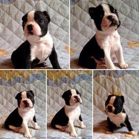 Boston Terrier De Ótima Procedência