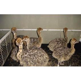 Filhotes De Avestruz Ler Anuncio