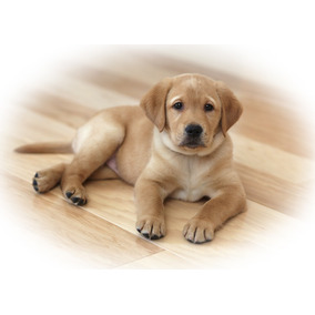 Cachorros De Labrador Entrenados En Casa Saludables