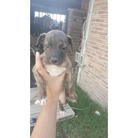 Cachorros Pitbull Cruza 50 Dias