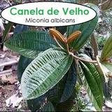 Chá Canela De Velho Miconia Albicans Folhas Frescas 250gr