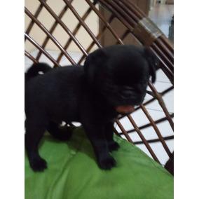 Pug Fêmea Filhote Super Preta Black Pet Linhagem Top