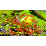 Gambas Red Cherry (docena)