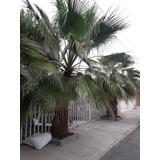 Palma Abanico Washigtonia En Cono Forestal $25c/u