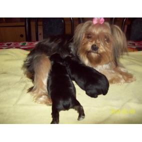 Yorkshire Terrier Mini Pelo De Seda (reserva $1000)