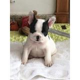 Bulldog Frances Femeas Filhote