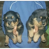 Cachorros Rottweiler Listos Para Entregar Papa Con Pedigri!!