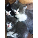 Se Dan En Adopcion Gatitos