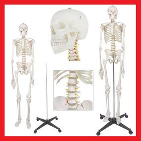 Esqueleto Humano Anatómico Tamaño Real 1.8m Envio Gratis 12m