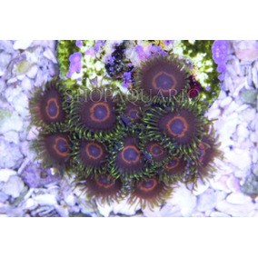 Coral Zoanthus Phe Hornet Peça Com 1pp
