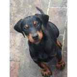 Registrado Entrenado Cachorros Doberman Pinscher